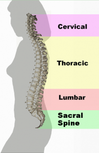 Spinal_column_curvature_2011